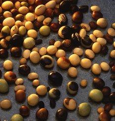 yellow_soybean.jpg